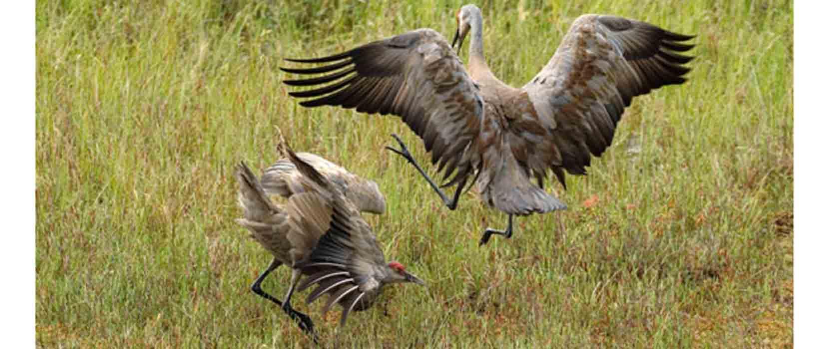 Spring Is In Air Cranes Are Returning >> Christy Yuncker Photo Journal Alaska Sandhill Cranes Dancing